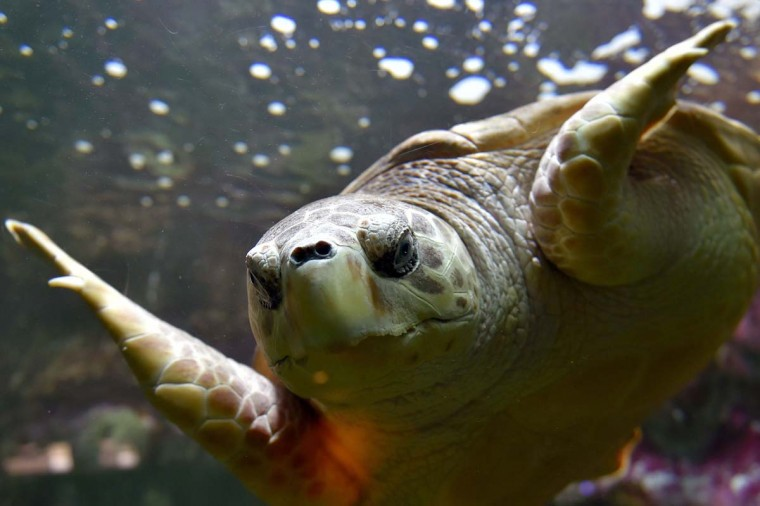 A sea turtle swims at the Ocearium in Le Croisic, western France, on December 6, 2016. (LOIC VENANCE/AFP/Getty Images)