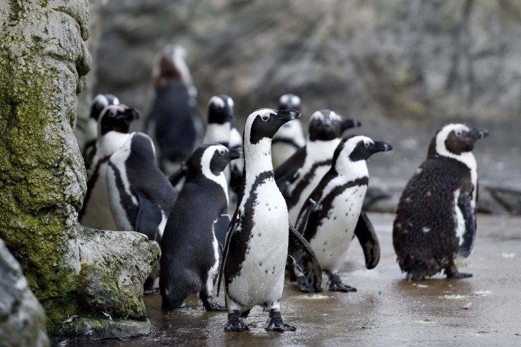 African penguins, also known as jackass penguins and black-footed penguins, stroll through their enclosure at the Ocearium in Le Croisic, western France, on December 6, 2016. (LOIC VENANCE/AFP/Getty Images)