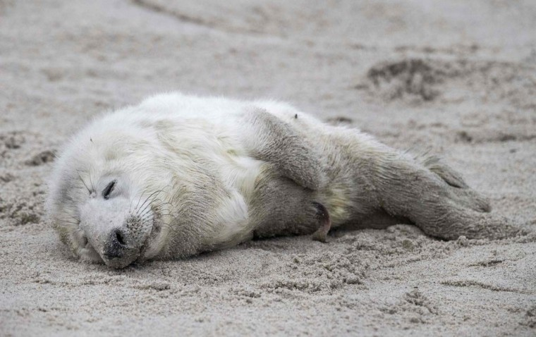 A newly born Grey Seal pup rests on a beach on the north Sea island of Helgoland, Germany, on December 14, 2016. As the mating season starts after female Grey Seals give birth, males usually compete by shows of strength against other males. Hundreds of Grey Seals use the island to give birth to their pups, usually between the months of November and January. The pups, after 3 weeks of nursing, are then left to fend for themselves. This year has seen a record number of new pups, with 320 births recorded up to December 14. (JOHN MACDOUGALL/AFP/Getty Images)