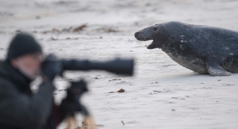 A male grey seal faces a competitor near a photographer on a beach on the North Sea island of Heligoland on December 14, 2016. Hundreds of grey seals use the island to give birth to their pups, usually between the months of November and January. The pups, after 3 weeks of nursing, are then left to fend for themselves. This year has seen a record number of new pups, with 320 births recorded up to December 14. (John Macdougall/AFP/Getty Images)
