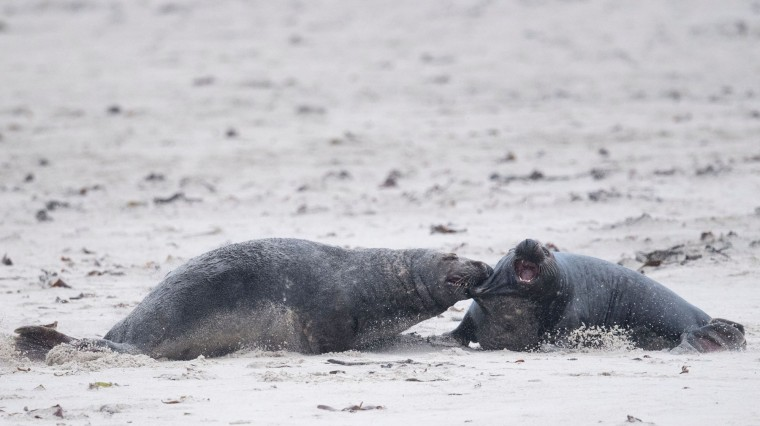 Two male grey seals fight on the North Sea island of Heligoland, Germany, on December 14, 2016. As the mating season starts after female grey seals give birth, males usually compete by shows of strength against other males. Hundreds of grey seals use the island to give birth to their pups, usually between the months of November and January. The pups, after 3 weeks of nursing, are then left to fend for themselves. This year has seen a record number of new pups, with 320 births recorded up to December 14. (John Macdougall/AFP/Getty Images)