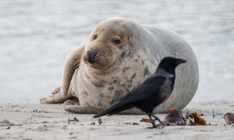 A Grey Seal looks at a black bird on the beach on the north Sea island of Helgoland, Germany, on December 14, 2016. As the mating season starts after female Grey Seals give birth, males usually compete by shows of strength against other males. Hundreds of Grey Seals use the island to give birth to their pups, usually between the months of November and January. The pups, after 3 weeks of nursing, are then left to fend for themselves. This year has seen a record number of new pups, with 320 births recorded up to December 14. (JOHN MACDOUGALL/AFP/Getty Images)