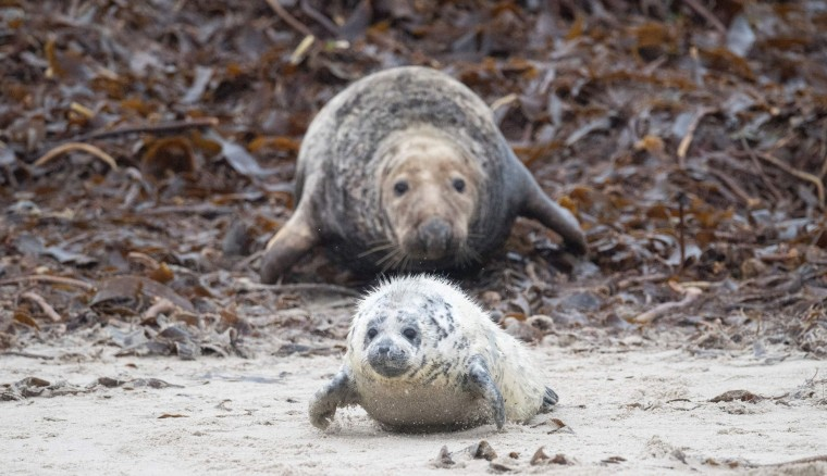 A female grey seal wriggles after her pup on the beach on the North Sea island of Heligoland, Germany, on December 14, 2016. As the mating season starts after female grey seals give birth, males usually compete by shows of strength against other males. Hundreds of grey seals use the island to give birth to their pups, usually between the months of November and January. The pups, after 3 weeks of nursing, are then left to fend for themselves. This year has seen a record number of new pups, with 320 births recorded up to December 14. (John Macdougall/AFP/Getty Images)
