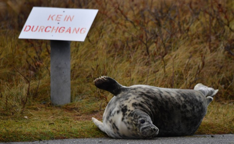 "A female grey seal who strayed from the beach, lies next to a sign reading: ""No throughway"" on the North Sea island of Heligoland, Germany, on December 14, 2016. As the mating season starts after female grey seals give birth, males usually compete by shows of strength against other males. Hundreds of grey seals use the island to give birth to their pups, usually between the months of November and January. The pups, after 3 weeks of nursing, are then left to fend for themselves. This year has seen a record number of new pups, with 320 births recorded up to December 14. (John Macdougall/AFP/Getty Images)"