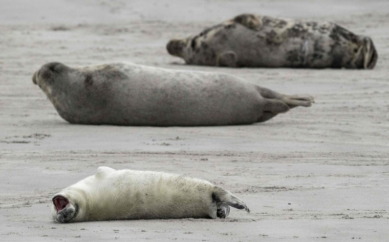 A grey seal pup yawns as it lies next to female grey seals on the beach on the North Sea island of Heligoland, Germany, on December 14, 2016. As the mating season starts after female grey seals give birth, males usually compete by shows of strength against other males. Hundreds of grey seals use the island to give birth to their pups, usually between the months of November and January. The pups, after 3 weeks of nursing, are then left to fend for themselves. This year has seen a record number of new pups, with 320 births recorded up to December 14. (John Macdougall/AFP/Getty Images)