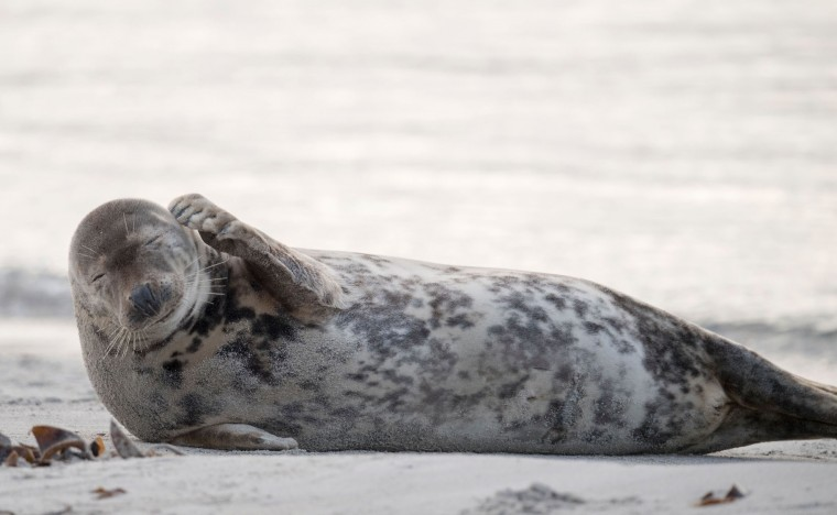 A female grey seal scratches herself on a beach on the North Sea island of Heligoland on December 14, 2016. Hundreds of grey seals use the island to give birth to their pups, usually between the months of November and January. The pups, after 3 weeks of nursing, are then left to fend for themselves. This year has seen a record number of new pups, with 320 births recorded up to December 14. (John Macdougall/AFP/Getty Images)