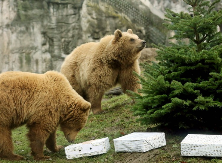 Brown bear Smilla (R) and Frida look closely at a Christmas tree on December 23, 2016, at the Zoo in Gelsenkirchen, western Germany, as gift packages filled with beef lie beside the tree. / (AFP Photo/Dpa / )
