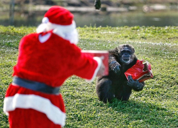 Santa Claus offers a gift to a chimpanzee during the 'Christmas with the Chimps' event at Lion Country Safari in West Palm Beach, Florida, on December 22, 2016. Lion Country Safari, America's first cageless zoo, has held the annual event for over 20 years with Santa Claus leaving presents and treats for the chimps. / (AFP Photo/Rhona Wise)