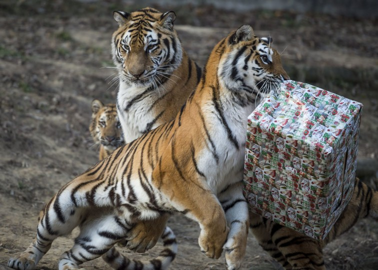 A tiger tries to unwrap a cardboard box containing chicken meat it received as Christmas gift in the zoo in Veszprem, 108 kms southwest of Budapest, Hungary, Friday, Dec. 16, 2016. (Boglarka Bodnar/MTI via AP)