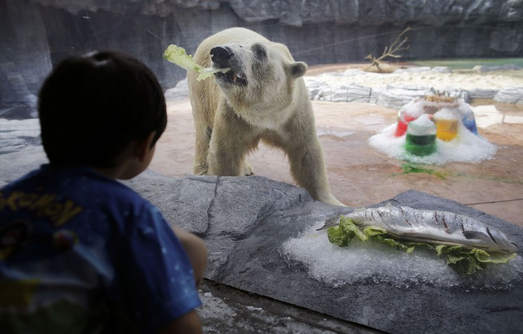 Singapore Zoo's senior polar bear Inuka tosses away a lettuce leaf from under a salmon, presented to him as a gift in celebration of his 26th birthday at the Singapore Zoo on Thursday, Dec. 22, 2016, in Singapore. Inuka was born on Dec. 26, 1990 and is currently on a special senior animal care programme. Health checks in the last few years showed age-related conditions like arthritis and dental issues, which the Singapore Zoo veterinary team is closely monitoring. The 26-year-old polar bear in human years would be in his 70s. (AP Photo/Wong Maye-E)