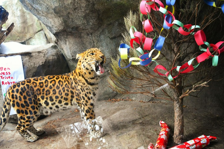 Chobby, one of the Minnesota Zoo's Amur leopards, was more interested in feeling pine needles on his tongue than in the fresh poultry in the wrapped presents under the decorated tree. (Glen Stubbe/Minneapolis Star Tribune/TNS)