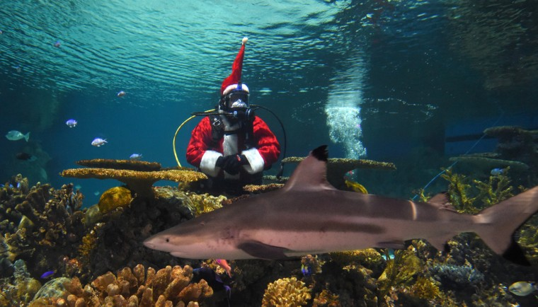 Jim Folk a volunteer diver dressed as Santa Claus will make his annual stop by the National Aquarium and scuba dive in the Blacktip Reef exhibit in 2015.   (Lloyd Fox/Baltimore Sun)