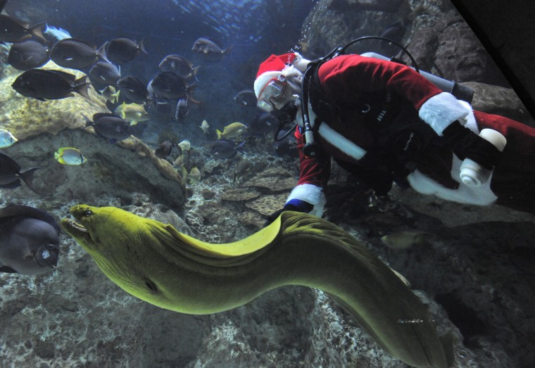 Santa Claus takes a dip at the National Aquarium with a Green Moray Eel as he scuba dives in the Atlantic Coral Reef exhibit bringing food for the fish in 2014.  (Lloyd Fox/Baltimore Sun)