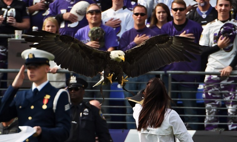 Baltimore, MD --11/6/16-- A bald eagle lands on its handler during pre-game ceremony before the Ravens Steelers game at M & T Bank Stadium. (Kenneth K. Lam/Baltimore Sun)