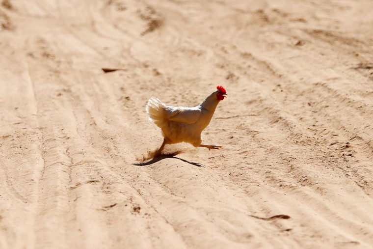 A chicken crosses the track during stage two of the 2017 Dakar Rally between Resistencia and San Miguel de Tucuman on January 3, 2017 at an unspecified location in Argentina. (Dan Istitene/Getty Images)