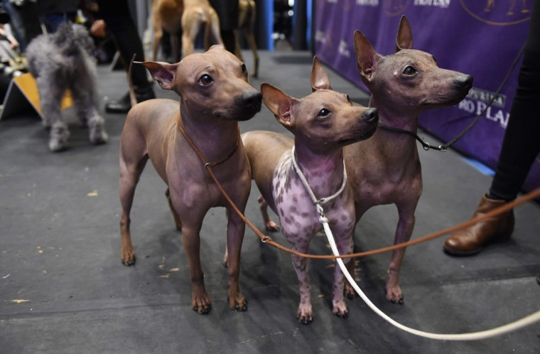 American Hairless Terriers are seen during a press conference January 30, 2017, in New York to announce three new breeds that will be eligible to compete in the 141st Westminster Kennel Club Dog Show.  The three new breeds eligible to compete in the 141st Westminster Kennel Club Dog Show on February 13 and 14 are, the American Hairless Terrier, the Pumi, and the Sloughi. (TIMOTHY A. CLARY/AFP/Getty Images)