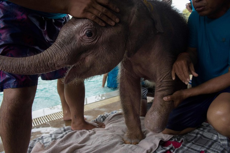 Six month-old baby elephant 'Clear Sky' is held as she is towel dried after a hydrotherapy session at a local veterinary clinic in Chonburi Province on January 5, 2017. After losing part of her left foot in a snare in Thailand, baby elephant 'Clear Sky' is now learning to walk again -- in water. The six-month-old is the first elephant to receive hydrotherapy at an animal hospital in Chonburi province, a few hours from Bangkok. The goal is to strengthen the withered muscles in her front leg, which was wounded three months ago in an animal trap laid by villagers to protect their crops. (Roberto Schmidt/AFP/Getty Images)