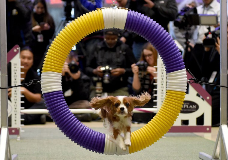 The King Charles Cavalier jumps through a ring during a press conference by the Westminster Kennel Club January 30, 2017 in New York to show off the new breeds eligible to compete in the 141st Westminster Kennel Club Dog Show. (TIMOTHY A. CLARY/AFP/Getty Images)