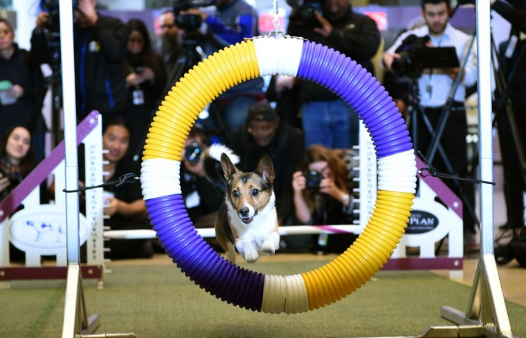 A Corgi mix All-American jumps through a hoop on the agility course during a press conference by the Westminster Kennel Club January 30, 2017 in New York to show off the the new breeds eligible to compete in the 141st Westminster Kennel Club Dog Show and to promote the 2017 Masters Agility Championship. (TIMOTHY A. CLARY/AFP/Getty Images)