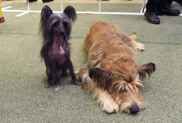 A Chinese Crested and a Berger Picard are pictured during a press conference by the Westminster Kennel Club January 30, 2017 in New York to show off the new breeds eligible to compete in the 141st Westminster Kennel Club Dog Show. (TIMOTHY A. CLARY/AFP/Getty Images)