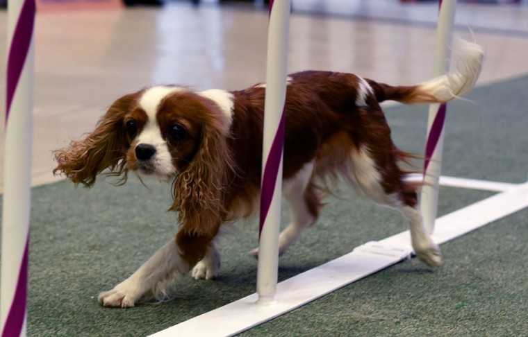 The King Charles Cavalier runs through the obstacle course during a press conference by the Westminster Kennel Club January 30, 2017 in New York to show off the new breeds eligible to compete in the 141st Westminster Kennel Club Dog Show. (TIMOTHY A. CLARY/AFP/Getty Images)