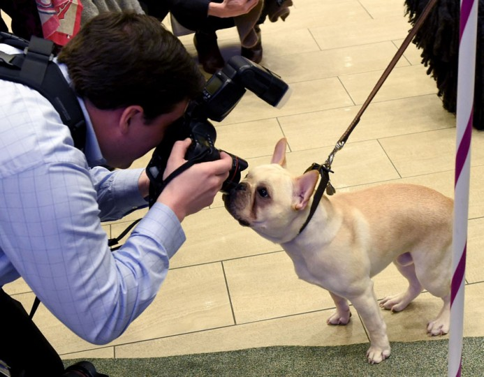 A photographer takes a photo of a French Bulldog during a press conference by the Westminster Kennel Club January 30, 2017 in New York to show off the the new breeds eligible to compete in the 141st Westminster Kennel Club Dog Show and to promote the 2017 Masters Agility Championship.(TIMOTHY A. CLARY/AFP/Getty Images)