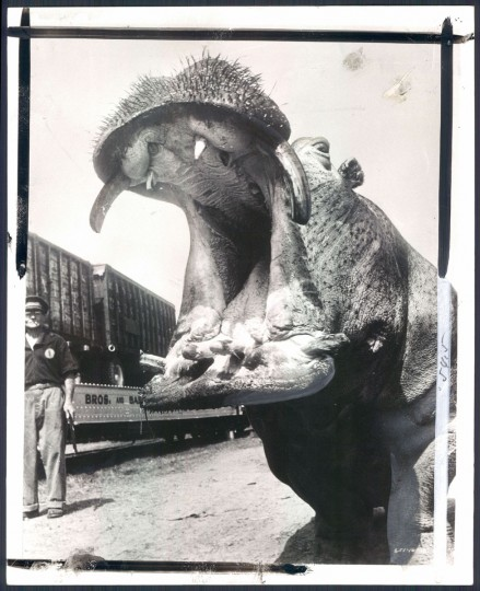 Hippo at Ringling Bros. & Barnum & Bailey Circus in 1956. (Baltimore Sun)