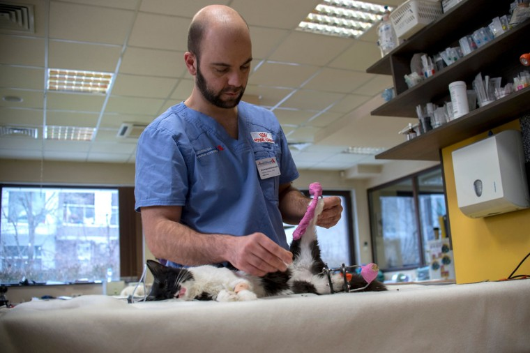This picture taken on January 26, 2017 in Sofia shows veterinary Vladislav Zlatinov examining the eight-month-old cat Steven prior an operation giving him new bionic paws. Two Bulgarian cats who lost their hind legs in accidents are being given new bionic paws in what vets say is the first such operation in Europe outside ground-breaking Britain. But that is not all there is to it, the stray fluffies are also looking to find homes. (AFP PHOTO / NIKOLAY DOYCHINOV)