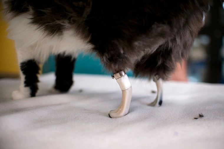 This picture taken on January 26, 2017 in Sofia shows one-year-old Pooh in her new bionic back paws. Two Bulgarian cats who lost their hind legs in accidents are being given new bionic paws in what vets say is the first such operation in Europe outside ground-breaking Britain. But that is not all there is to it, the stray fluffies are also looking to find homes. (AFP PHOTO / NIKOLAY DOYCHINOV)
