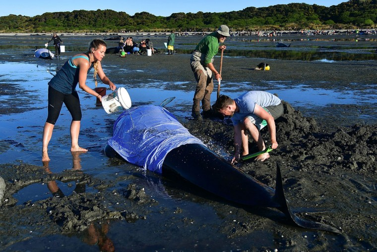This picture taken on February 11, 2017 shows volunteers caring for pilot whales during a mass stranding at Farewell Spit. Most of the more than 200 whales who became stranded on New Zealand's notorious Farewell Spit on the weekend have been able to refloat themselves, conservation officials said on February 12.   (AFP PHOTO / Marty MELVILLE)