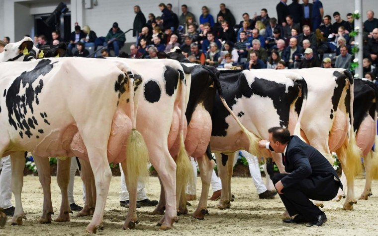 """A judge inspects cows taking part in the 44th edition of the """"Schau der Besten"""" (Show of the Best) dairy cow beauty pageant on February 23, 2017 in Verden an der Aller, northwestern Germany. About 200 cows compete in 18 different categories. / (CARMEN JASPERSEN/AFP/Getty Images)"""