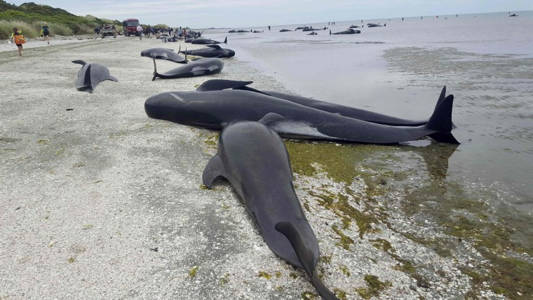 This handout from Radio New Zealand taken and released on February 10, 2017 shows pilot whales which beached themselves overnight at Farewell Spit in the Golden Bay region at the northern tip of New Zealand's South Island. More than 400 whales were stranded on the New Zealand beach on February 10, with hundreds already dead as volunteers tried to refloat the survivors, the Department of Conservation said. (AFP PHOTO / RADIO NEW ZEALAND / Tracy NEAL / - New Zealand OUT)