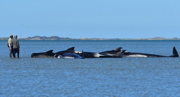 This picture taken on February 11, 2017 shows fishermen looking at pilot whales which died in a mass stranding at Farewell Spit. Most of the more than 200 whales who became stranded on New Zealand's notorious Farewell Spit on the weekend have been able to refloat themselves, conservation officials said on February 12. (AFP PHOTO / Marty MELVILLE)