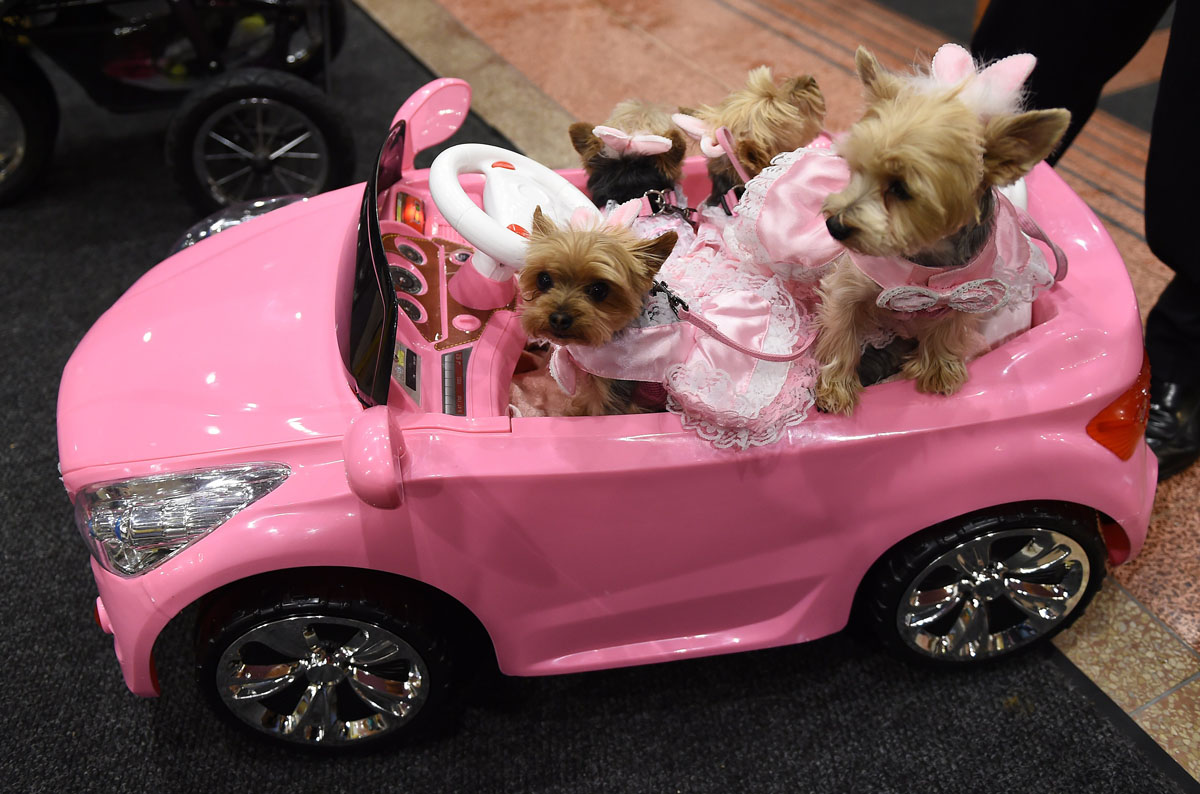 Yorkies In A Remote Controlled Mini Pink Convertible