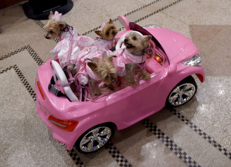 Yorkies in a remote controlled mini pink convertible arrive for the 14th Annual New York Pet Fashion Show presented by TropiClean at the Hotel Pennsylvania February 9, 2017. (TIMOTHY A. CLARY/AFP/Getty Images)