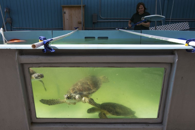 In this Wednesday, Jan. 11, 2017 photo, green sea turtles with Fibropapillomatosis swims past the window of the Texas Sealife Center outdoor tank as a volunteer clean the tank in Corpus Christi, Texas. After months of mild weather, temperatures dropped fast and hard on the weekend of Jan. 7, cold-stunning hundreds of sea turtles in Texas waters. But as scientists treated the animals, they discovered another problem -- tumors. Scientists found that half of the turtles were afflicted with fibropapillomatosis, or FP, a herpes virus specific to sea turtles. (Courtney Sacco/Corpus Christi Caller-Times via AP)