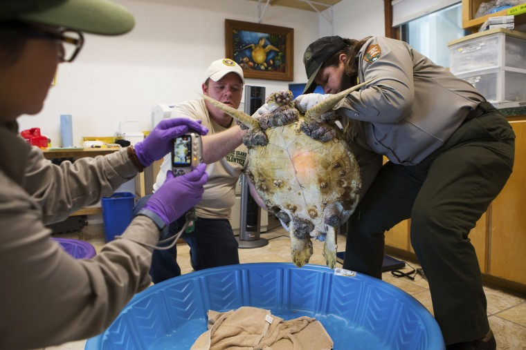 In this Monday Jan. 9, 2017 photo, volunteer Dan Trinkaus and Biologist Cynthia Rubio pick up a cold stunned sea turtle for Dimitra Guerrero to take a photo as it is documented at Padre Island National Seashore Turtle lab in Corpus Christi, Texas. After months of mild weather, temperatures dropped fast and hard on the weekend of Jan. 7, cold-stunning hundreds of sea turtles in Texas waters. But as scientists treated the animals, they discovered another problem -- tumors. Scientists found that half of the turtles were afflicted with fibropapillomatosis, or FP, a herpes virus specific to sea turtles. (Courtney Sacco/Corpus Christi Caller-Times via AP)