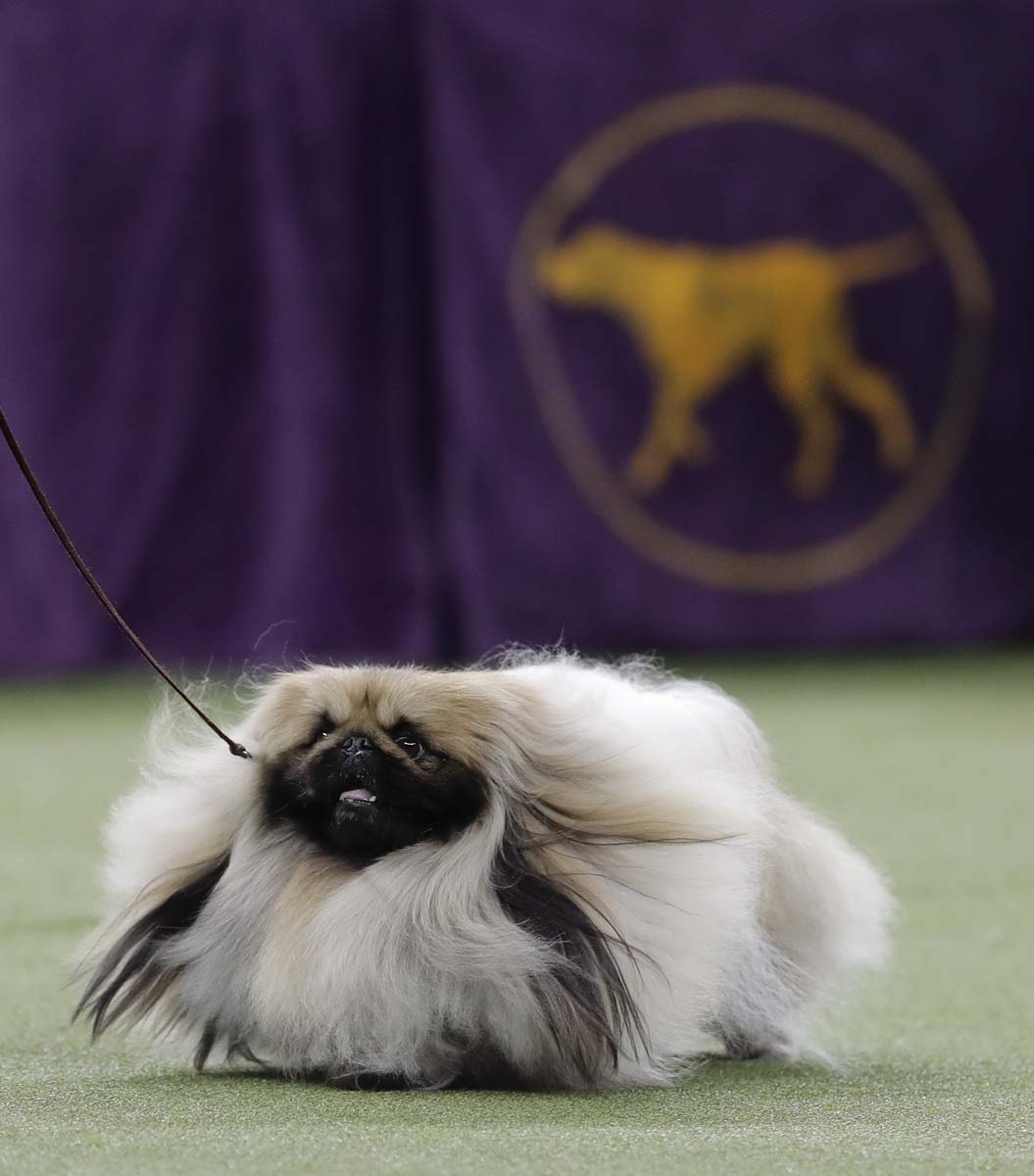 Westminster Dog Show  On Dish