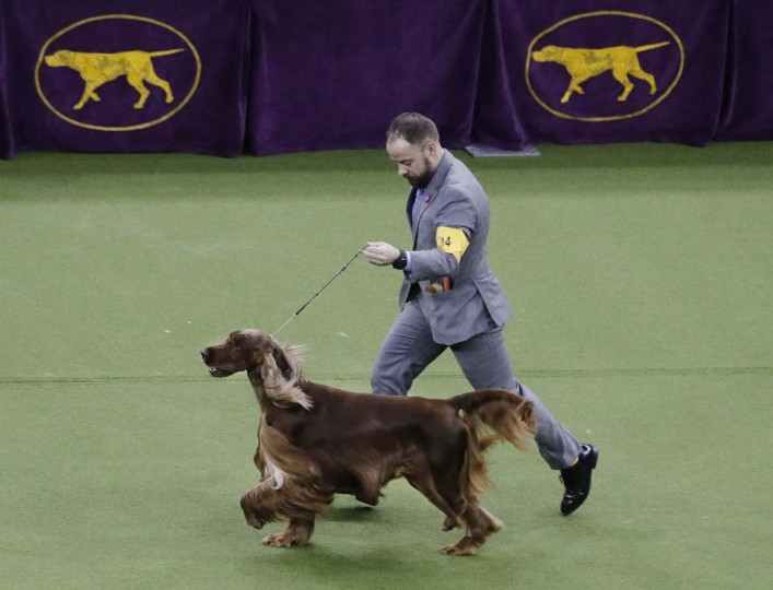 Adrian, an Irish setter, competes in Best in Show during the 141st Westminster Kennel Club Dog Show on Tuesday, Feb. 14, 2017, in New York. (AP Photo/Frank Franklin II)