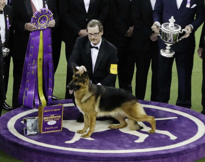 A handler poses for photographs with Rumor, a German shepherd, after Rumor won Best in Show at the 141st Westminster Kennel Club Dog Show on Tuesday, Feb. 14, 2017, in New York. (AP Photo/Frank Franklin II)