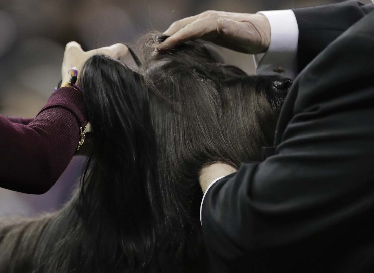 A judge examines a Skye terrier during the terrier group competition at the 141st Westminster Kennel Club Dog Show, Tuesday, Feb. 14, 2017, in New York. (AP Photo/Julie Jacobson)