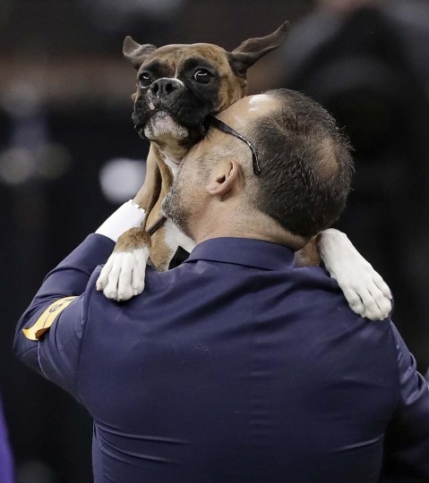 Handler Diego Garcia lifts up boxer Devlin after she won the working group competition during the 141st Westminster Kennel Club Dog Show, Tuesday, Feb. 14, 2017, in New York. (AP Photo/Julie Jacobson)