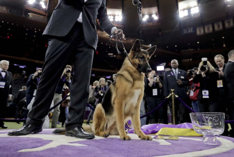 Rumor, a German shepherd, poses for photos after winning Best in Show at the 141st Westminster Kennel Club Dog Show, Wednesday, Feb. 15, 2017, in New York. (AP Photo/Julie Jacobson)