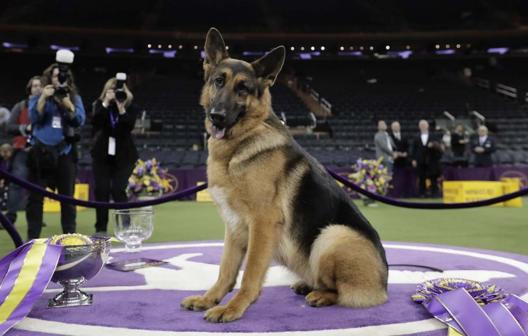 Rumor, a German shepherd, poses for photos after winning Best in Show at the 141st Westminster Kennel Club Dog Show, early Wednesday, Feb. 15, 2017, in New York. (AP Photo/Julie Jacobson)