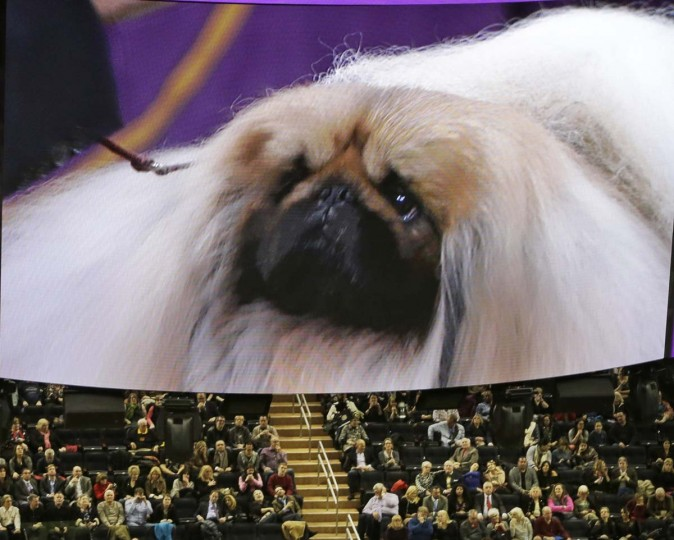 Chuckie, a Pekingese, competes during Best in Show, as seen on a video screen at the 141st Westminster Kennel Club Dog Show on Tuesday, Feb. 14, 2017, in New York. (AP Photo/Frank Franklin II)