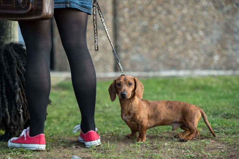 A dog owner arrives with her miniature smooth dachshund dog on the first day of the Crufts dog show at the National Exhibition Centre in Birmingham, central England, on March 9, 2017. (OLI SCARFF/AFP/Getty Images)