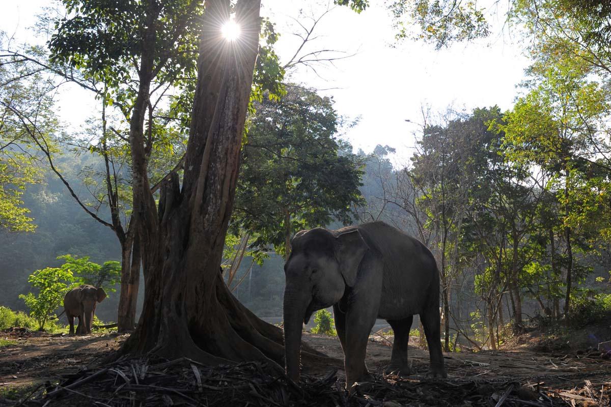 Sumatran elephants pushed out of homes, toward humans