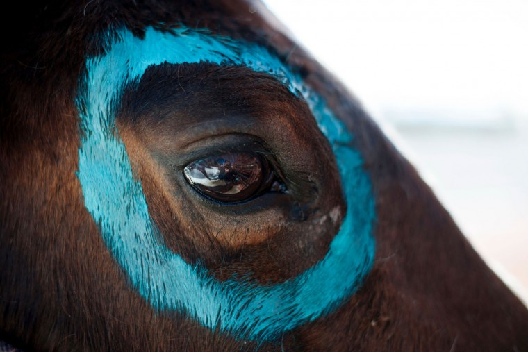 Turquoise paint adorns the eye of Ryan Rivera's horse Twister during the 68th annual Leadville Ski Joring weekend competition in Leadville, Colorado on Saturday, March 4, 2017. Skijoring, which has its origins as a competitive sport in Scandinavia, has been adapted over the years to include a team made up of a rider and skier who must navigate jumps, slalom gates, and the spearing of rings for points. Leadville, with an elevation of 10,152 feet (3,094 m), the highest incorporated city in North America, has been hosting skijoring competitions since 1949. (Jason Connolly/AFP/Getty Images)