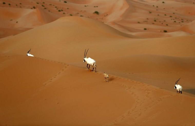 Arabian Oryx and a gazelle are seen at the Arabian Oryx Sanctuary in Um al-Zamool, near the United Arab Emirates' border with Saudi Arabia on March 23, 2017. (KARIM SAHIB/AFP/Getty Images)