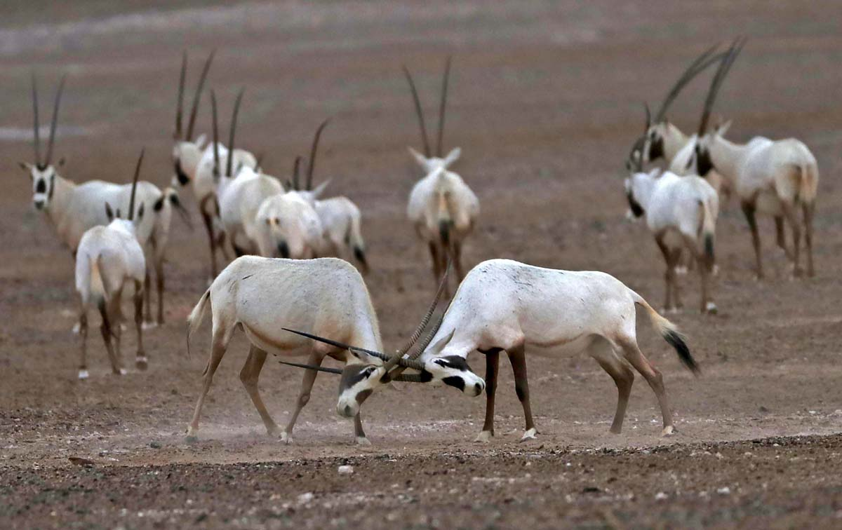 arabian oryx Ministers al zeyoudi and al kaabi and other senior officials release 14 arabian oryx to the wild at qasr al sarab protected area.